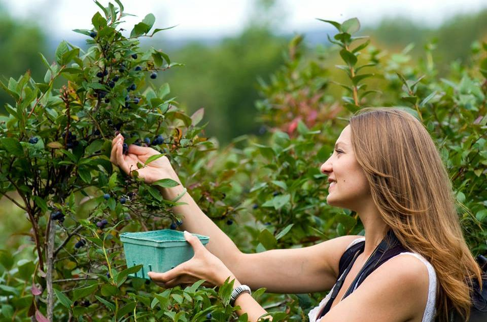 lady picking blueberries